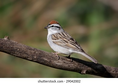 Chipping Sparrow (Spizella passerina) on a branch in spring