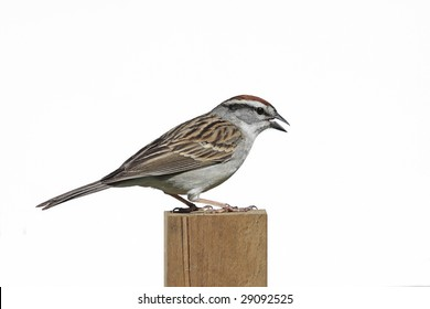 Chipping Sparrow (Spizella passerina) on a post - Isolated on a white background