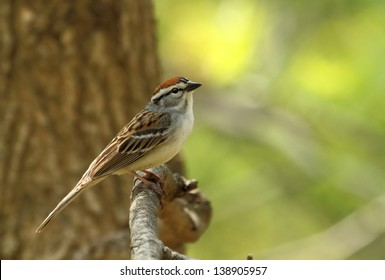 Chipping sparrow, Spizella passerina, perched on a tree branch with copy space
