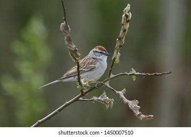 Chipping Sparrow (spizella passerina) (songbird)
