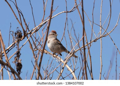 Chipping sparrow (Spizella passerina) is a species of American sparrow,perched on the branch tree
