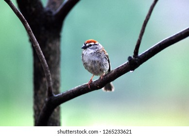 Chipping Sparrow, Spizella passerina, West Virginia; The Chipping Sparrow is a species of American sparrow in the family Emberizidae.