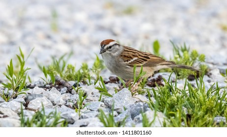A Chipping Sparrow (Spizella passerine) looking for food on the ground.