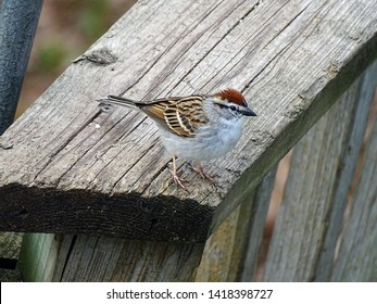 Chipping sparrow watching the camera warily from a deck railing