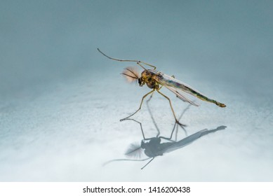 Chironomidae mosquito and its shadow reflection on light blue background