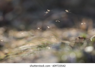 The chironomids flying on the spring sunny day