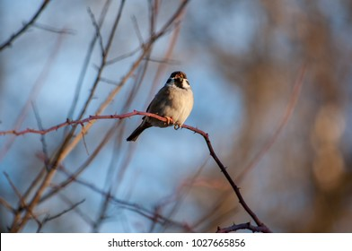 A chirping sparrow, on a branch in mid-day, during a sunny winter afternoon