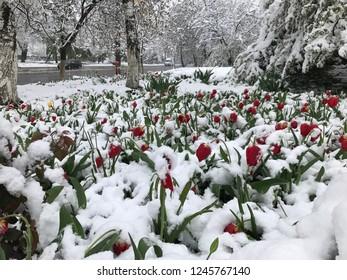 Chisinau, Moldova - April 20, 2017: Heavy snowfall hits Chisinau in the middle of spring