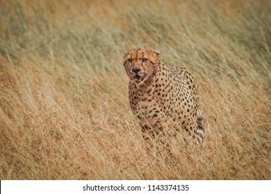 Chita running Africa Masai Mara