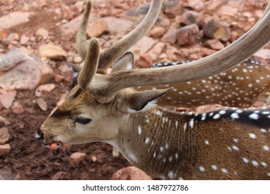 Chital are attractive spotted deer ranging from golden to rufous in colour, males are much larger than females and grow large, lyre-shaped antlers. They have white fur on their abdomen,