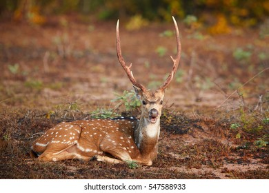 Chital, Axis axis, also known as spotted deer or axis deer, close up dominant male with large antlers, lying on the morning savanna, staring directly at camera. Wilpattu national park, Sri Lanka.