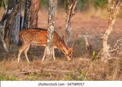 Chital, Axis axis, also known as spotted deer or axis deer, male feeds on grasses among trees in colorful morning light. Wilpattu national park, Sri Lanka.