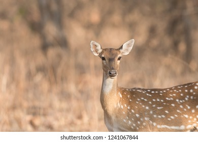 Chital (Axis axis) - Portrait