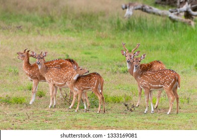 The chital or cheetal (Axis axis), also known as spotted deer or axis deer, Yala National park, Sri Lanka.