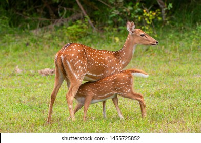 chital cheetal axis known spotted 260nw