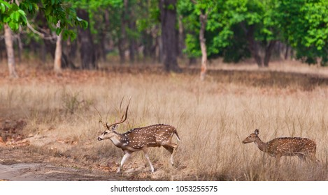 Chital or cheetal deer (Axis axis), also known as spotted deer or axis deer in the Bandhavgarh National Park in India. Bandhavgarh is located in Madhya Pradesh.