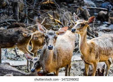chital cheetal known spotted deer 260nw