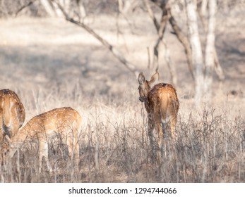 Chital deer calf in Ranthambore National Park in Rajasthan, India