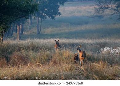 Chital Deer Family at Dawn in Kanha National Park India