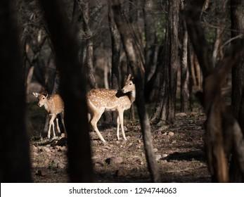 Chital deer in Ranthambore National Park in Rajasthan, India