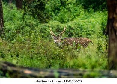 Chital deer or spotted deer wandering in rain around the Kabini Forest, Karnataka, India.