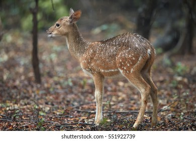Chital fawn, Axis axis, also known as spotted deer or axis deer, wet baby in forest among trees in rain. Wilpattu national park, Sri Lanka.