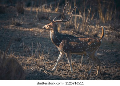 Chital also known as spotted deer or axis deer (Axis axis) at Kanha Tiger Reserve, Madhya Pradesh, India