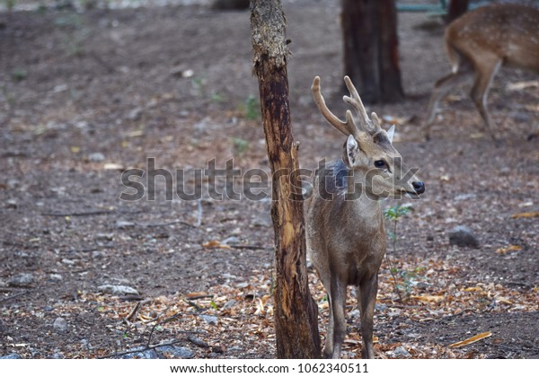 Chital looking left