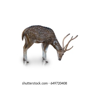 The chital or spotted deer isolated on white background(clipping path)