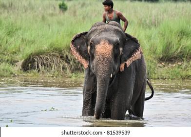CHITWAN NATIONAL PARK, SAURAHA, NEPAL MAY 2011: Man seats on bathing Asian Elephant (Proboscidea Elephas maximus) 19 May. 2011 in Chitwan National Park river, Nepal.