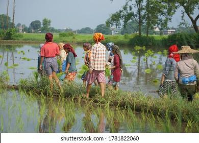 Chitwan Nepal, 15 July 2020:Nepali women planting corps from Chitwan Nepal
