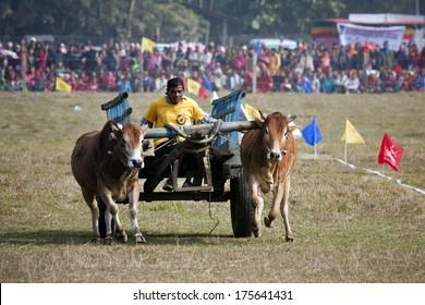 Chitwan, Nepal - December 27, 2013: Ox cart race - Elephant festival, Chitwan 2013, Nepal. In Terai, ox cart are still used for farmer work.