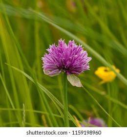 Chive herb flowers (Allium schoenoprasum)