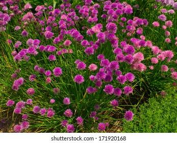 Chive herb flowers in a garden (Allium schoenoprasum)