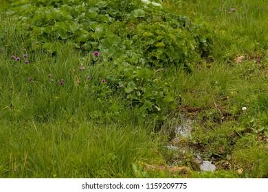 Chive herb flowers in Taumplitzalm (Allium schoenoprasum)