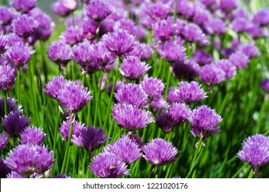 Chives Allium schoenoprasum, in the home gardens. In culinary use, osprey and unopened immature flower buds are cut into cubes and used as an ingredient for fish, potatoes, soups