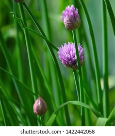 Chives, Allium schoenoprasum is a small bulbous perennial which is commonly used as a culinary herb to impart mild onion flavor to many foods, including salads, soups, vegetables and sauces.
