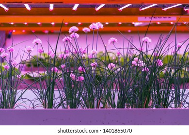 Chives in aquaponics system, combination of fish aquaculture with hydroponics, cultivating plants in water under artificial lighting, Allium schoenoprasum