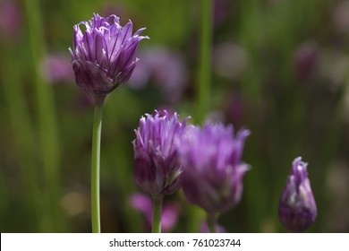Chives with a couple of blossoms in a garden
