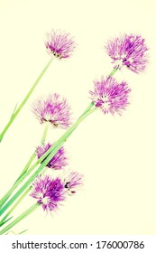 Chives decorative flowers close up