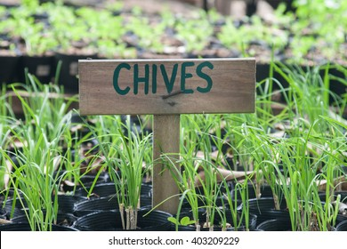 Chives growing in pots in a garden. Chives signs.