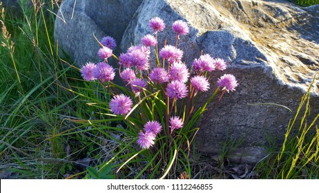 Chives with purple blossoms growing among dead leaves, grass and mossy white granite stones. Captured on a sunny afternoon in the upper Midwest. Spring/ Summer, 2017