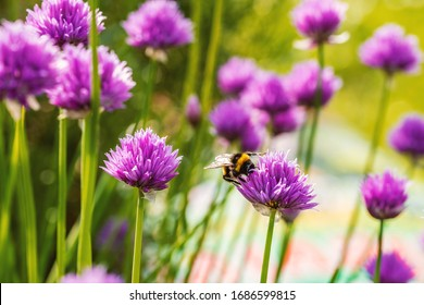 Chives, scientific name Allium schoenoprasum. There is a bumblebee on a flower of the plant. Chives are a commonly used herb, especially for culinary purposes.