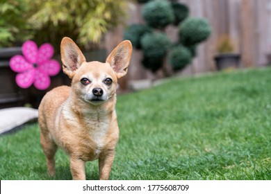 Chiweenie Dog Standing in Yard - female with cherry eye medical condition