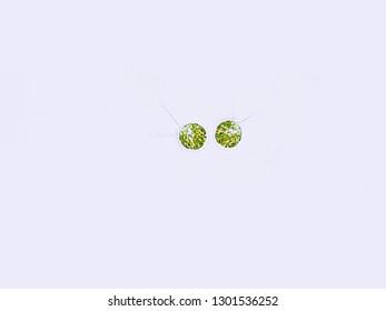 Chlamydomonas sp. algae under microscopic view