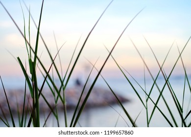 Chloris gayana (Rhodes grass) blowimg in the wind near the sea backgrounds pastel color. Beautiful natural background.Selective focus.