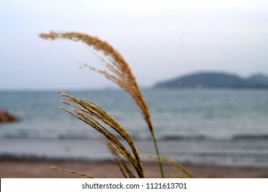 Chloris  gayana (Rhodes grass)blowing in the wind near the sea background.