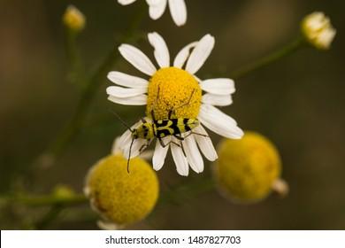 Chlorophorus varius, the grape wood borer, is a species of beetle in the family Cerambycidae. Tripleurospermum inodorum, wild chamomile, mayweed, false chamomile, and Baldr's brow.