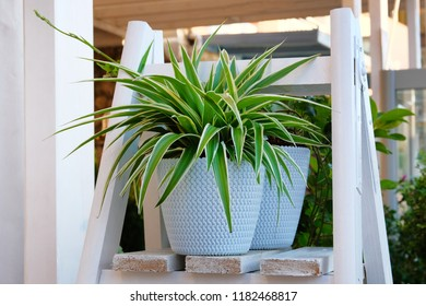 Chlorophytum in white flowerpot on wooden shelf . Ornamental plants in pot. Variegatum,comosum houseplant. Spider Plant.