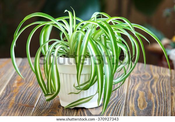 Хлорофитум в белом горшке на деревянном фоне. Декоративные растения в горшке /Variegatum, comosum. Паук завод